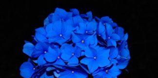 hydrangea-blossom-bloom-flower-53135