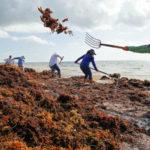 Sargassum_Seaweed