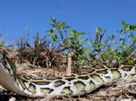 burmese-python