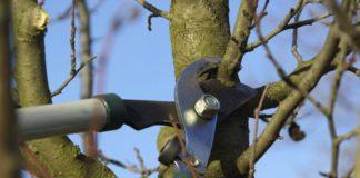 fruit-tree-pruning