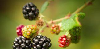 blackberry-wine