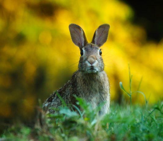 bunny-ebola