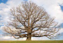 white-oak-angels-envy